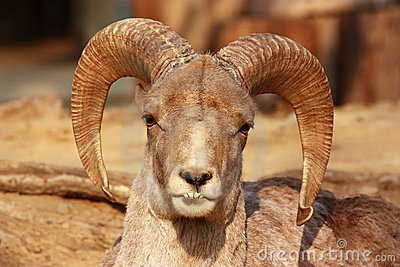 The portrait of a goat with big horns