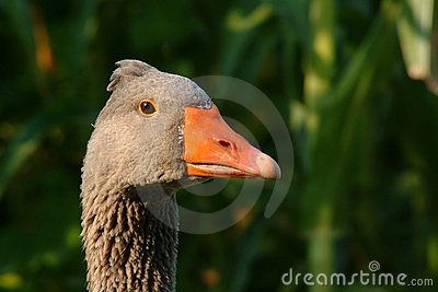 Portrait of goose