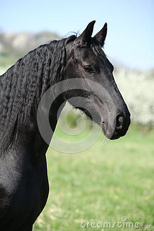 Portrait of gorgeous friesian mare in spring