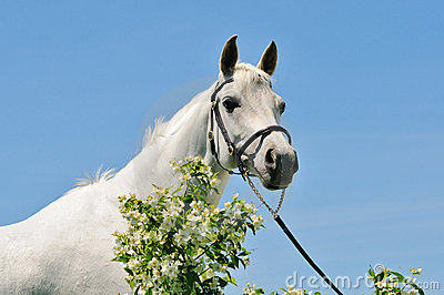 Portrait of gray Arabian horse