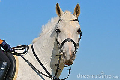 Portrait of gray sportive horse