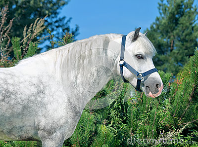 Portrait of  gray  welsh pony