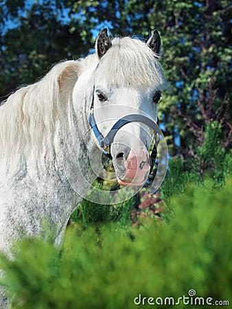 Portrait of  gray  welsh pony