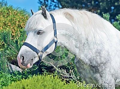 Portrait of  gray  welsh pony.