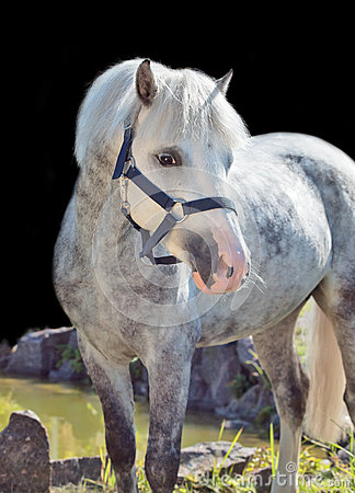 Portrait of  gray  welsh pony.