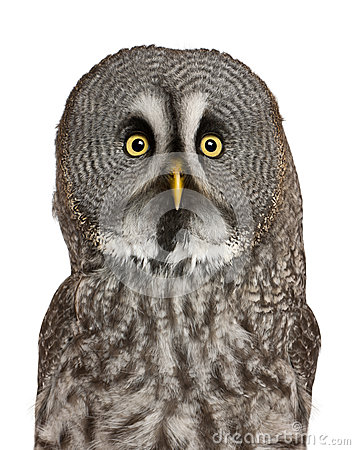 Portrait of Great Grey Owl or Lapland Owl