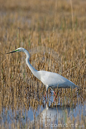 Portrait of a great white egret.