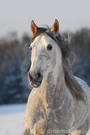 Portrait grey andalusian horse