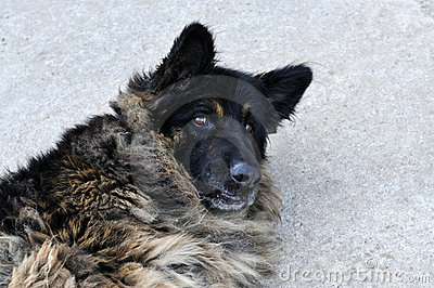 A portrait of a grey germany shepherd dog.