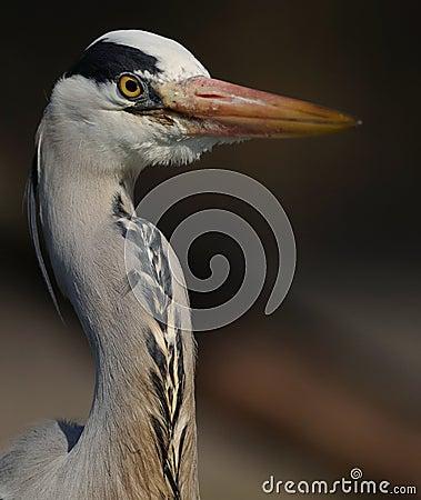 Portrait of a Grey Heron