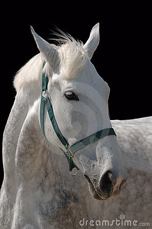 A portrait of grey horse isolated on black