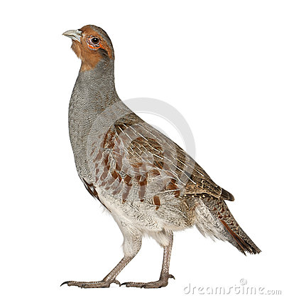 Portrait of Grey Partridge