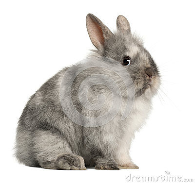 Portrait of a grey rabbit sitting