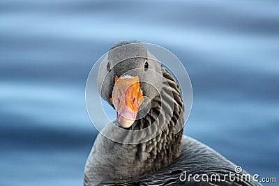 Portrait of a Greylag Goose (Anser Anser, Bird)