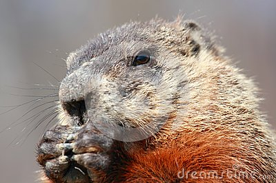 Portrait of ground hog