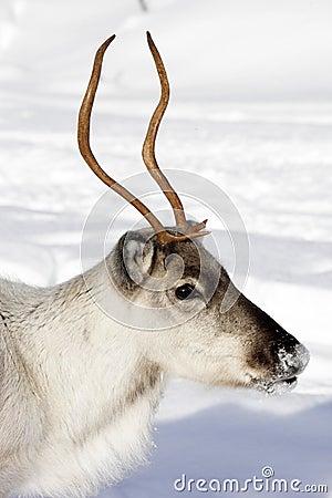 Close up of a Reindeer / Rangifer tarandus in winter