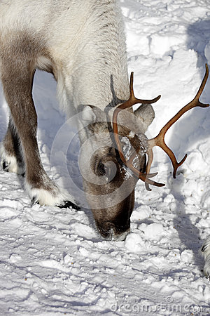 Close up of a Reindeer / Rangifer tarandus in winter