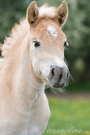 Portrait of haflinger pony foal