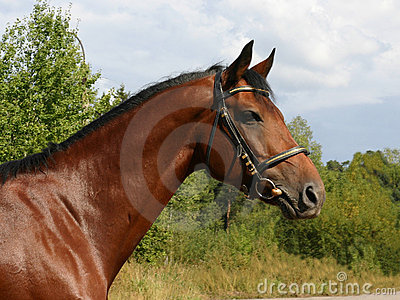 A portrait of half-arabian stallion