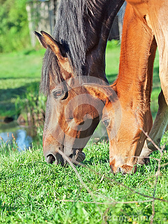 Portrait of Hanoverian mare with foal