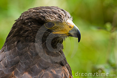 Portrait of Harris hawk