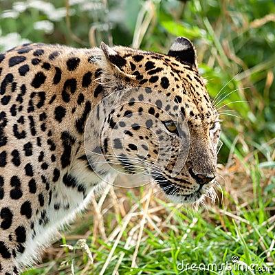 Portrait Head Shot of Adult Amur Leopard