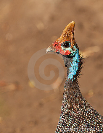 Portrait of the Helmeted Guineafowl