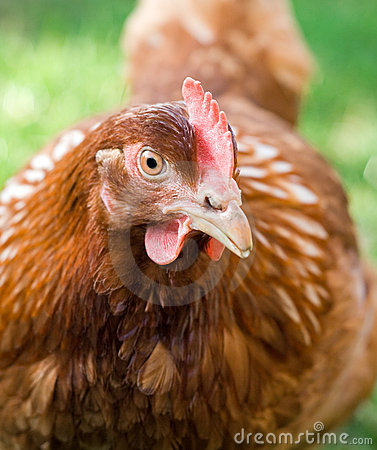 Portrait of a hen staring one-eyed