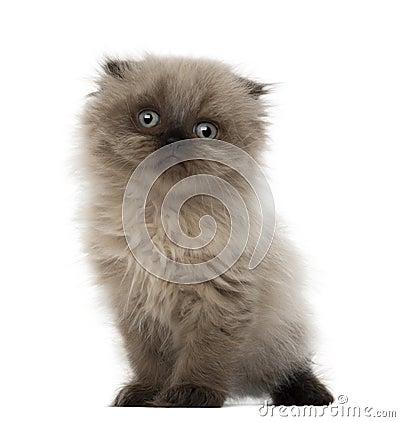 Portrait of Highland fold kitten, 5 weeks old