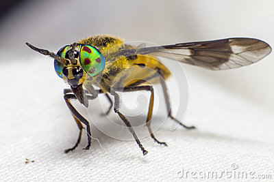 Portrait of a Horse-fly