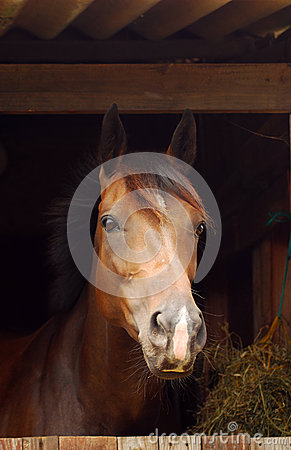 Horse portrait in stable