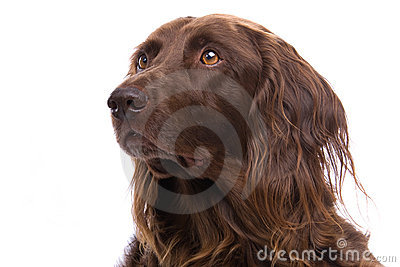 Portrait of hunting dog
