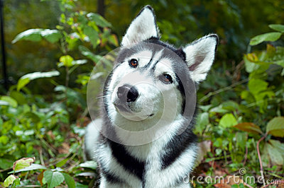 Portrait of a Husky dog