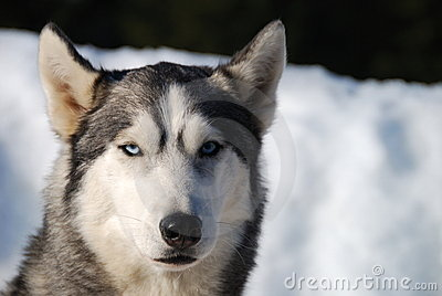Portrait of husky dog