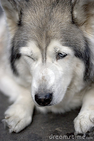 Portrait of husky dog blink