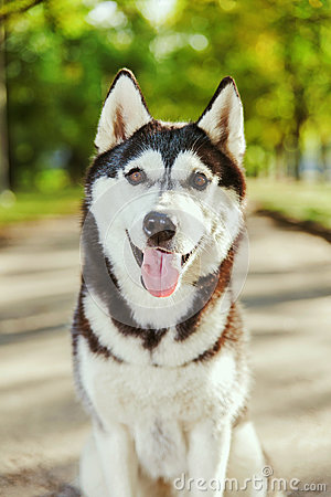 Free Portrait Husky Dog With A Smile Stock Photography - 78409072