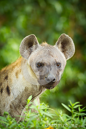 The portrait of Hyena