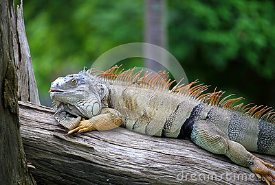 Portrait of iguana