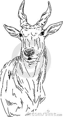 Portrait  impala