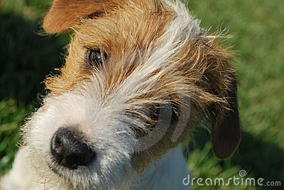 Portrait of Jack Russell Terrier Puppy