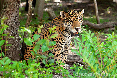 Portrait of jaguar in wildlife