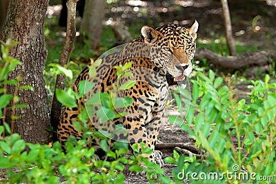 Portrait of jaguar in wildlife
