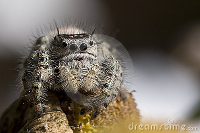 Portrait of jumping spider