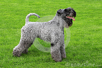 Portrait of Kerry Blue Terrier