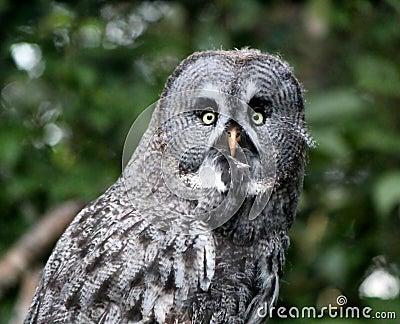 Portrait of a lap owl