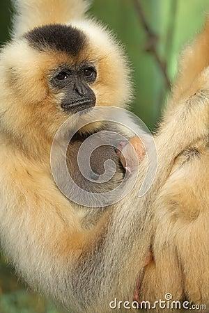 Portrait of Lar Gibbon female with animal baby