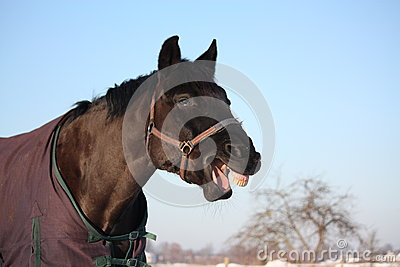 Portrait of laughing black horse