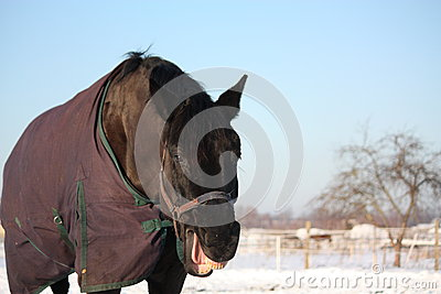 Portrait of laughing black horse