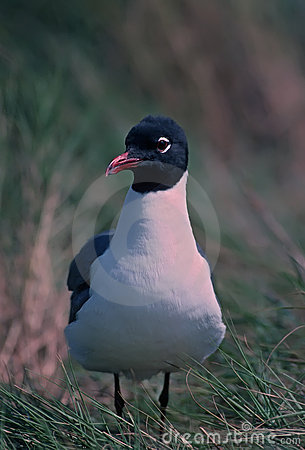 Portrait of a laughing gull in breeding plumage