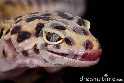 Portrait of leopard gecko